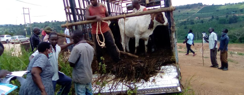 Giving out cows to the beneficiaries under Operation Wealth Creation